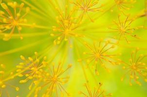 Bug sur gros plan de fleur d'aneth photo