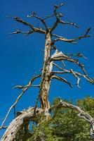 Vieil arbre sur la montagne de tara en Serbie photo
