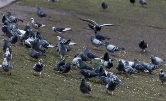 un troupeau de pigeons photo