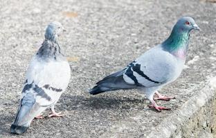 deux pigeons tournés vers la droite photo