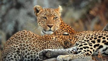mère léopard africain assis sur un rocher avec son petit photo