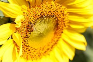 Gros plan du tournesol et de l'abeille à Chiangrai en Thaïlande photo