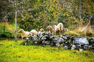 moutons paissant au sommet d'un tas de pierres photo