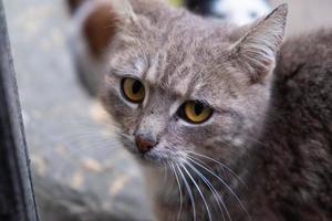 beau visage d'un chat gris se bouchent photo