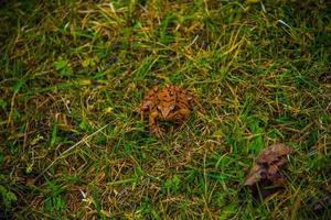 grenouille parmi les prés photo