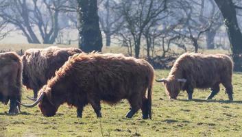 champ de bovins bruns photo