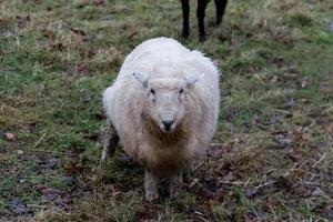 mouton blanc à l'avant photo