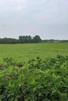 mouton dans un champ vert photo