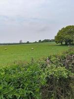 moutons paissant dans un champ vert photo
