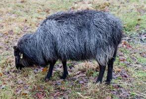 côté mouton noir photo