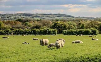 moutons de West Lancashire photo
