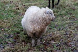 mouton blanc à droite photo