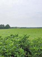 champ vert avec des moutons photo