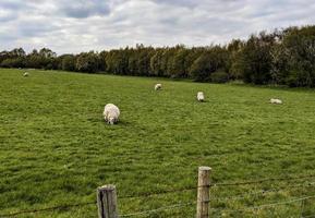 moutons dans un grand champ photo