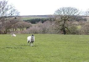 deux moutons blancs dans un champ vert photo