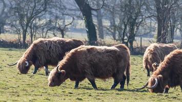 champ de bétail photo