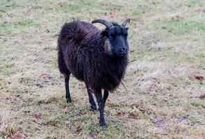 un mouton noir photo