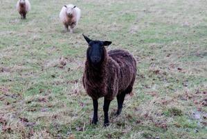 mouton noir dans un champ photo