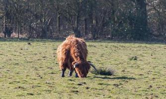 tête de vache brune photo