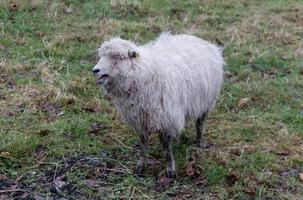 un mouton bêlant photo