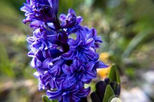 20210313 Hyacinthus orientalis1 photo