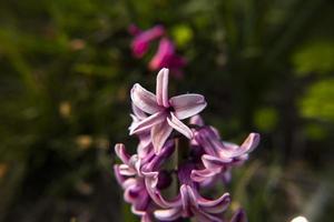 20210313 hyacinthus orientalis4 photo