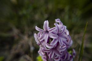 20210313 Hyacinthus orientalis2 photo