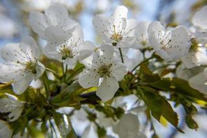 202144 fleurs de cerisier montemezzo photo