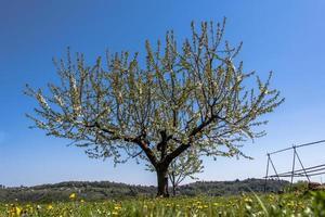 202144 fleur de cerisier sovizzo photo