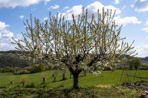 202144montemezzo fleur de cerisier photo