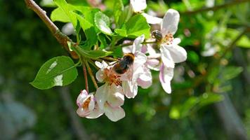 abeille sur la fleur blanche photo