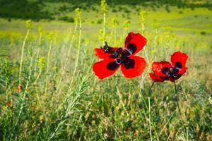 Deux insectes abeilles sur les fleurs de pavot dans le champ de la nature verte photo