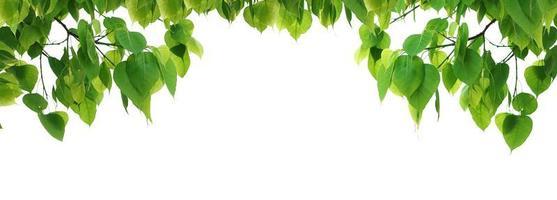 Arbre de feuille verte Bodhi isolé sur fond blanc photo