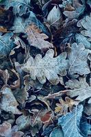feuilles brunes sèches et givrées en hiver photo