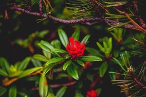 fleur de rhododendron ferrugineum photo