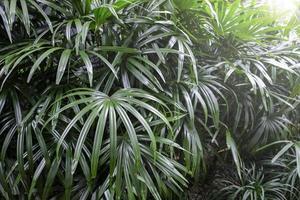 Rhapis excelsa ou lady palmier dans le jardin fond de feuilles tropicales photo