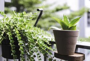 Sansevieria trifasciata ou plante de serpent et millions de cœurs au balcon photo