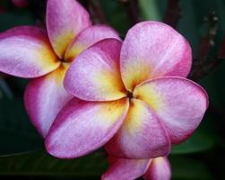 fleur de frangipanier ou fleur de leelawadee photo
