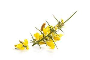 Ajonc jaune frais en fleur isolé sur fond blanc photo