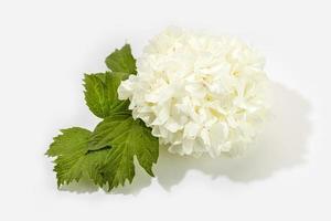 Boule de neige chinoise fleur viburnum isolé sur fond blanc photo