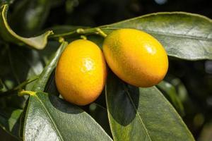 Fruits de kumquat poussant sur un arbre photo