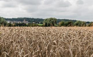 champ de blé lancashire photo