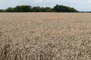les récoltes de blé photo
