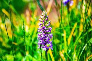 fleurs violettes sauvages photo