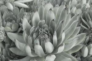 fond de plantes succulentes vert pâle bouchent la texture des plantes succulentes photo