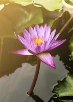 Nénuphar rose unique avec fond de lumière du soleil photo