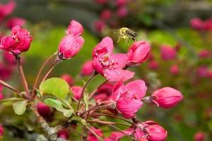 abeille pollinisant une fleur rose photo