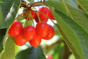 cerisier rouge photo