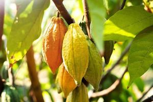 cacaoyer avec cabosses de cacao dans une ferme biologique photo