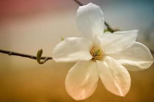 fleur de magnolia blanc de près photo